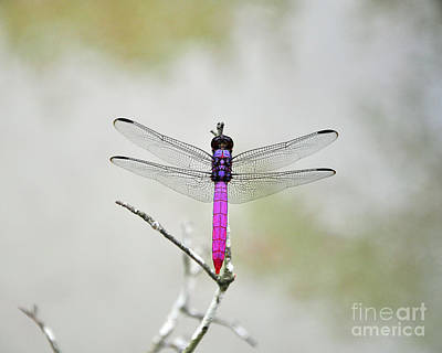 Dragon Fly Photograph - Radiant Roseate by Al Powell Photography USA