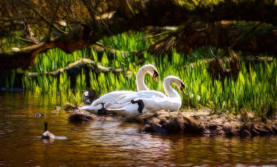 Photograph - Radiant Swans by Cameron Wood