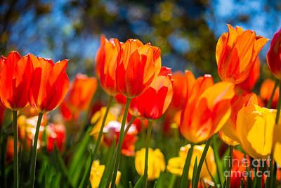 Radiant Tulips Art Print by Inge Johnsson