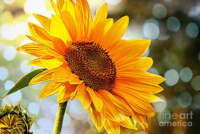 Photograph - Radiant Yellow Sunflower by Judy Palkimas