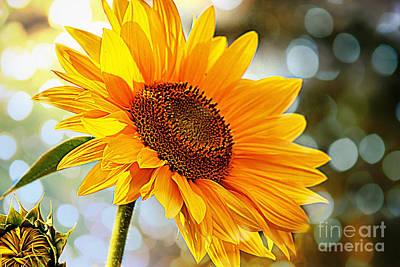 Photograph - Radiant Yellow Sunflower by Judy Palkimas