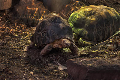 Photograph - Radiated Tortoise by Doc Braham