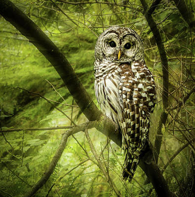 Radiating Barred Owl Art Print by Jean Noren
