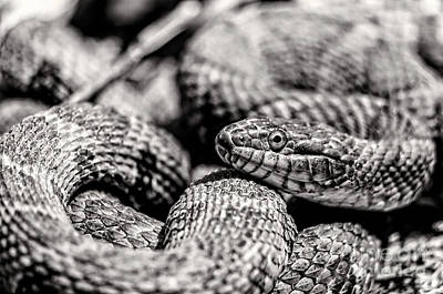 Jeffery Johnson Photograph - Radnor Lake Northern Water Snake Black And White by Photo Captures by Jeffery