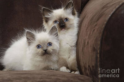 Ragdoll Kittens Photograph - Ragdoll Kittens by Jean-Michel Labat