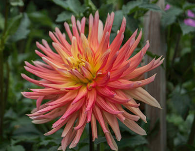 Photograph - Ragged Dahlia by Arlene Carmel