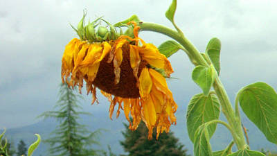 Photograph - Ragged Sunflower - Sunflowers by Marie Jamieson