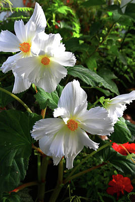 Photograph - Raggedy White Begonia Blooms by Nareeta Martin