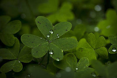 Photograph - Rain Drops On Clover by Morgan Wright