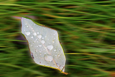 Photograph - Rain Drops On Floating Leaf by Crystal Wightman