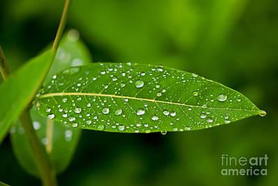 Photograph - Rain Drops On Leaves #1 by Kerri Farley