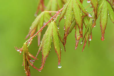Photograph - Rain Drops On Leaves by Robert Potts