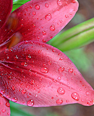 Ally Photograph - Rain Drops On Lily by Ally  White