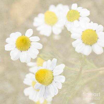 Photograph - Rain-kissed Chamomile by Cindy Garber Iverson