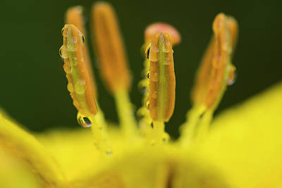 Photograph - Rain On Anthers by Robert Potts