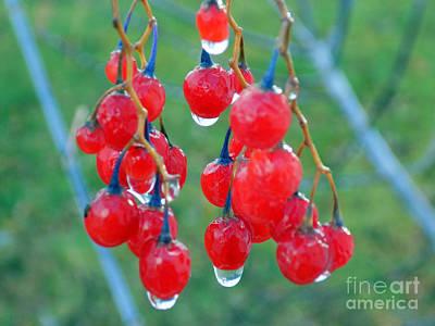Solanum Dulcamara Photograph - Rain On Nightshade Berries by William Tasker