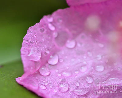 Photograph - Rain On The Rhododendron by Kerri Farley