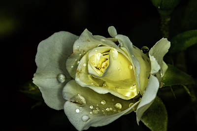 Photograph - Rain On The Rose by Jay Stockhaus