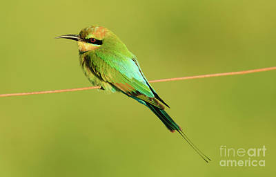 Australian Bees Photograph - Rainbow Bee-eater, Merops Ornatus, Queensland, Australia by Genevieve Vallee