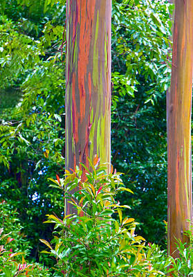 Photograph - Rainbow Eucalyptus Hawaii by Waterdancer