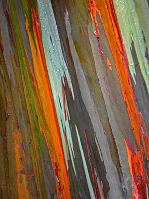 Photograph - Rainbow Eucalyptus Tree by Elizabeth Hoskinson