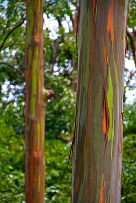 Photograph - Rainbow Eucalyptus Trees Hawaii by Waterdancer