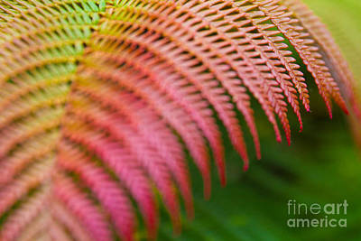 Photograph - Rainbow Fern Dryopteris Wallichiana Io Nui by Sharon Mau