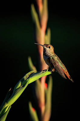 Photograph - Rainbow Hummingbird by Athena Mckinzie