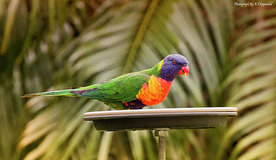 Digital Art - Rainbow Lorikeet 061 by Kevin Chippindall