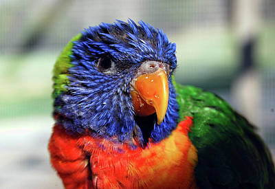 Photograph - Rainbow Lorikeet by Amber Flowers