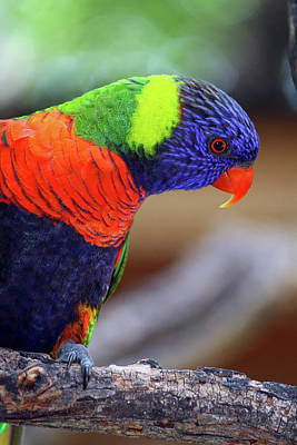 Photograph - Rainbow Lorikeet by Inspirational Photo Creations Audrey Woods