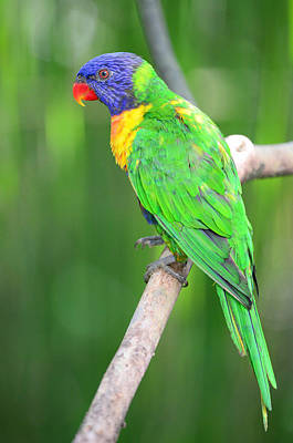 Photograph - Rainbow Lorikeet by Balram Panikkaserry