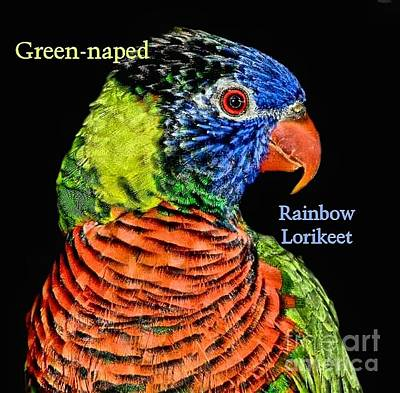Photograph - Rainbow Lorikeet by Debbie Stahre