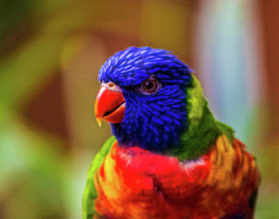 Parrot Photograph - Rainbow Lorikeet by Martin Newman