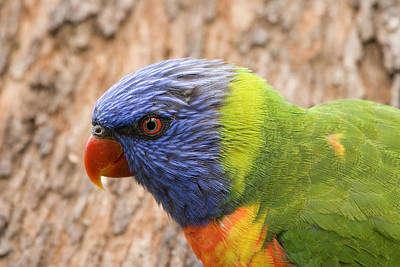 Rainbow Lorikeet Original by Mike  Dawson
