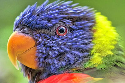 Photograph - Rainbow Lorikeet by Nadia Sanowar