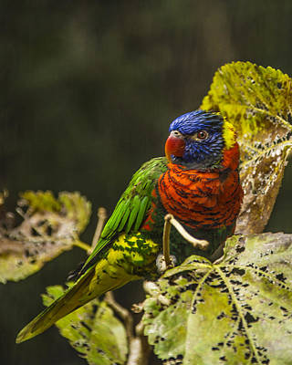 Photograph - Rainbow Lorikeet by Paula Porterfield-Izzo