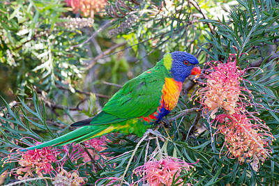 Photograph - Rainbow Lorikeet by Phil Stone