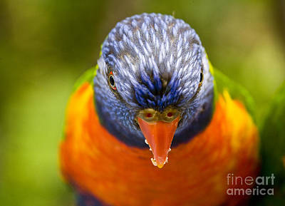 Tasteful Tulips - Rainbow lorikeet by Sheila Smart Fine Art Photography