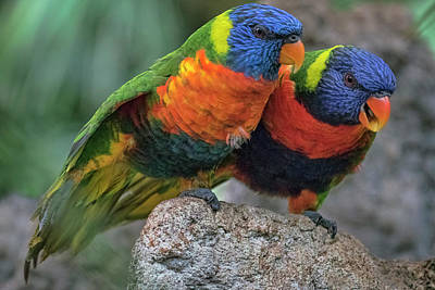 Photograph -  Rainbow Lorikeets by Nadia Sanowar