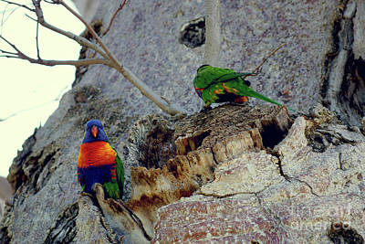 Rainbow Lorikeets Nesting In A Boab Art Print