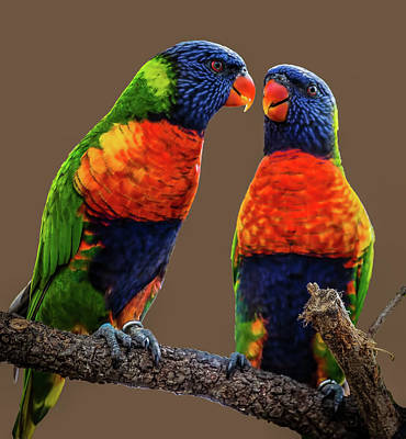 Photograph - Rainbow Lorikeets by Richard Goldman