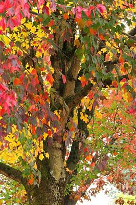 Photograph - Rainbow Maple by Frank Townsley