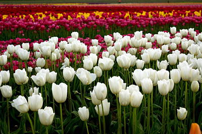 Rainbow Of Tulips Art Print by Sonja Anderson