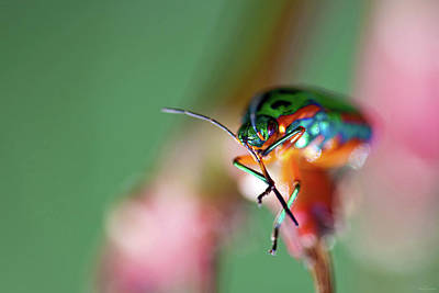 Photograph - Rainbow Shield Bug by Rick Furmanek