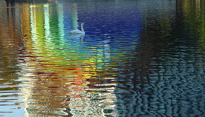 Photograph - Rainbow Swan Reflection by Denise Mazzocco
