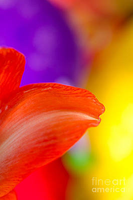 Blooms Photograph - Rainbow Tip Red Amaryllis Petal Tip On A Rainbow Background by Andy Smy