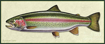 Painting - Rainbow Trout Id by Jon Q Wright