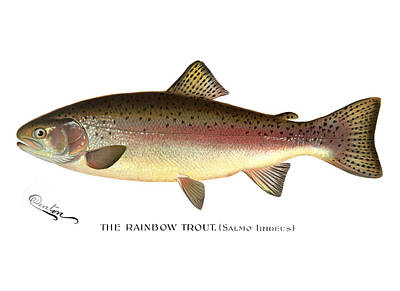 Trout Painting - Rainbow Trout by Mountain Dreams