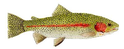 Salmon Painting - Rainbow Trout Study by Thom Glace